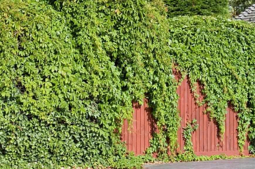 Быстрорастущие вьющиеся растения для забора и сада — обзор лучших видов (120 фото). Инструкция: как выбрать и высадить вьющиеся растения