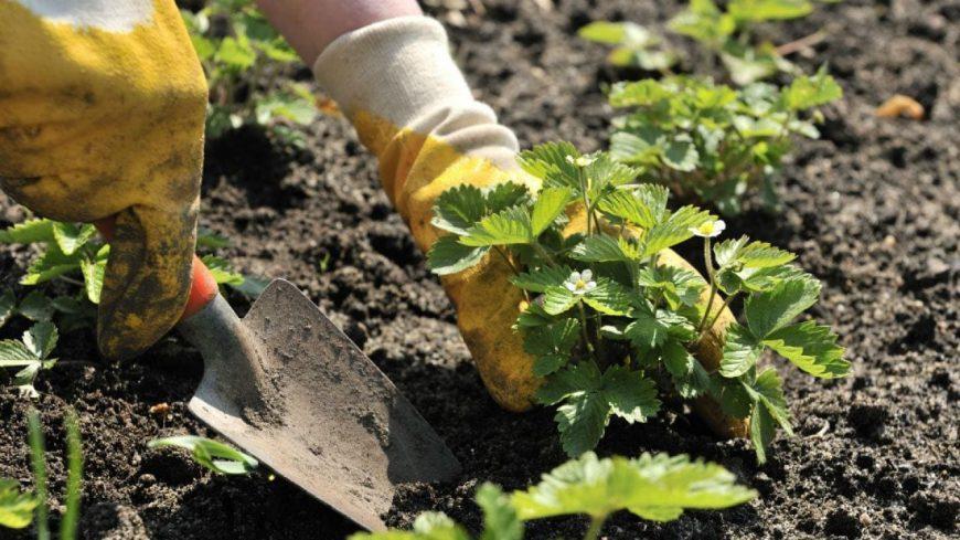 Какую почву любит клубника: особенности подготовки грунта, кислотность, состав — полная инструкция от садовника!