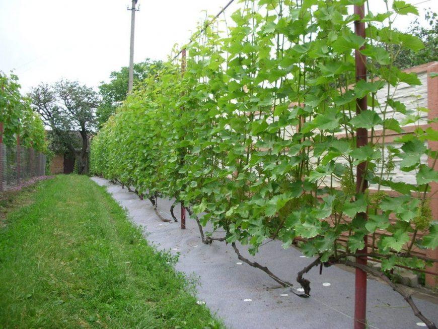 Шпалера для винограда ? своими руками — готовые решения на садовом участке. Инструкция + 120 фото вариантов правильной шпалеры
