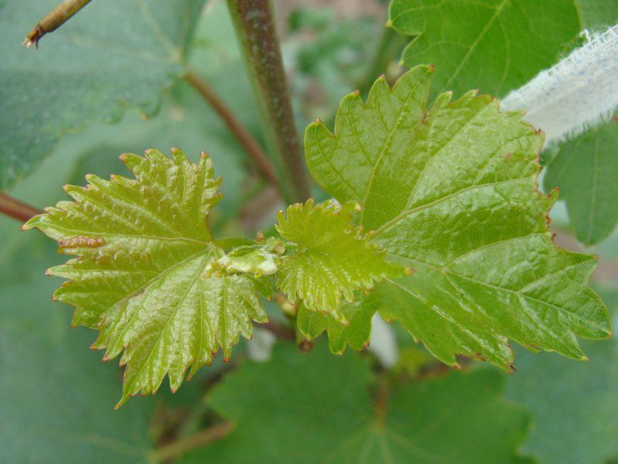У смородины бледные листья чем подкормить — обзор самых эффективных методик от садовника